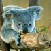 Koala Bear by cewoldt