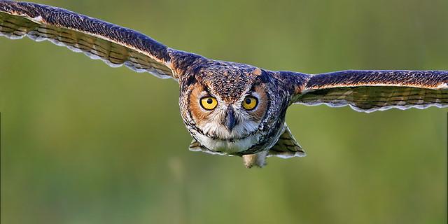 BOF069 Great Horned Owl