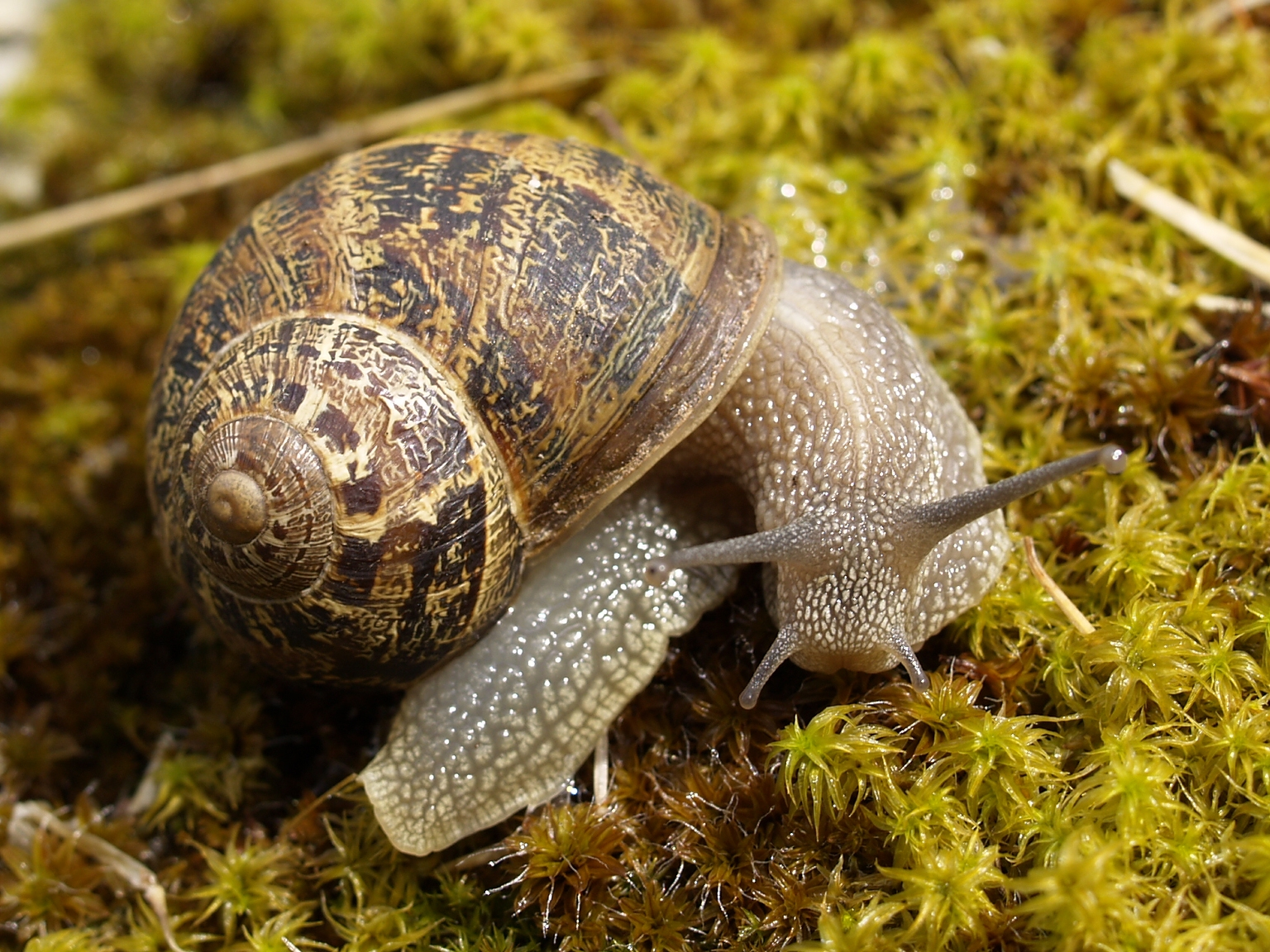 Garden Snail (Cornu aspersum) · iNaturalist.org