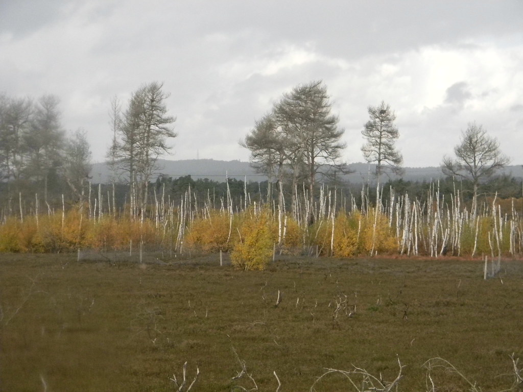 Thursley Heath A line of burnt out, regenerating birch provides unusual colour. Milford to Haslemere