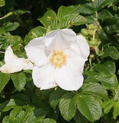 blossom(0.0), garden roses(0.0), shrub(1.0), flower(1.0), plant(1.0), rosa rubiginosa(1.0), rosa canina(1.0), flora(1.0), rosa acicularis(1.0), rosa pimpinellifolia(1.0), rosa rugosa(1.0), petal(1.0),