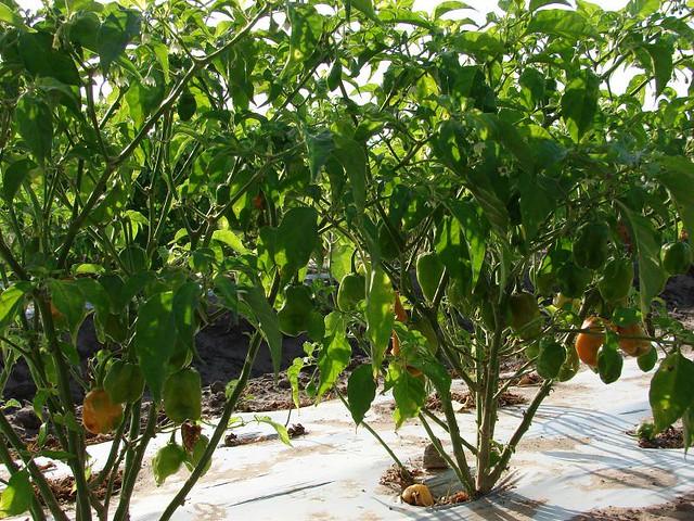 Habanero Pepper Plants   Flickr - Photo Sharing!