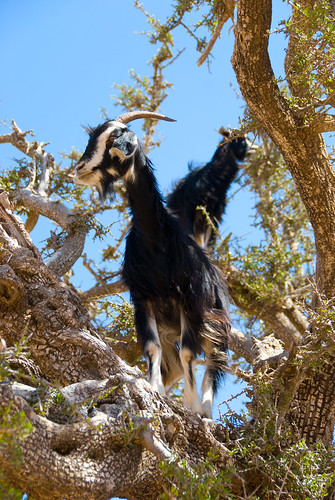 Goats in an argan tree in Morocco