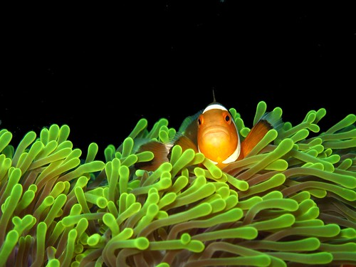 False clown fish on magnificent sea anemone