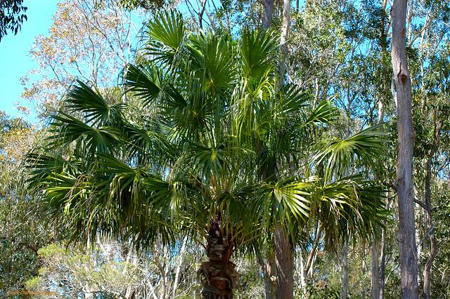 Livistona australis-Cabbage palm