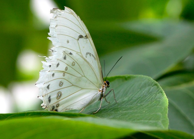 White butterfly flickr photo sharing for White paper butterflies