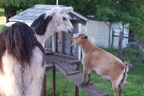 Llama Meets Goat