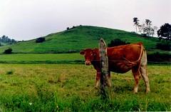 Vaca en Castañeda