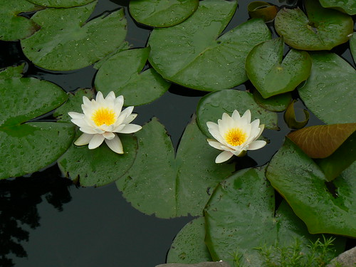"Water Lily | by Kristin ""Shoe"" Shoemaker"