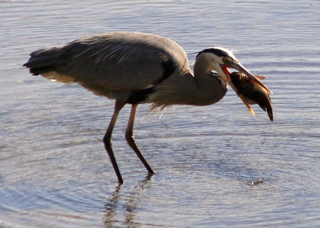 blue heron fishing flickr photo sharing
