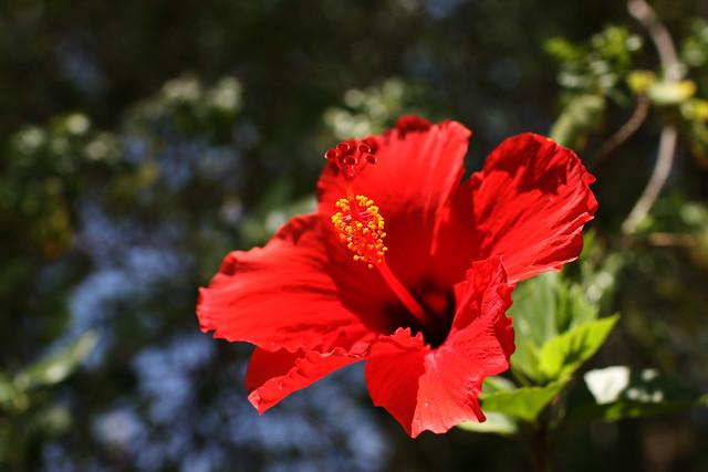phoenix flowers