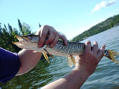 northern pike, fish, fishing, recreation, outdoor recreation,