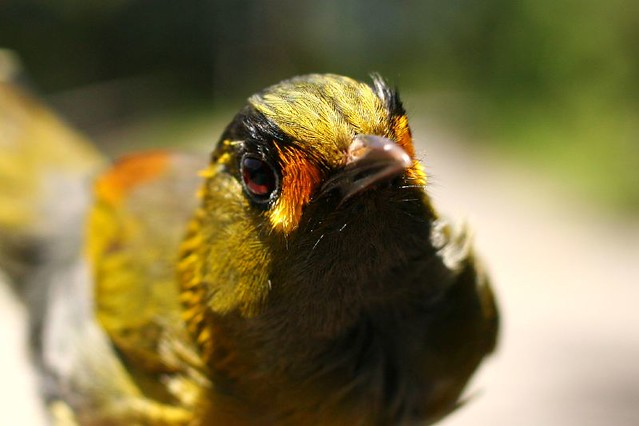 黃胸藪眉/藪鳥 Steere's Liocichla