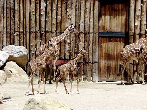 New giraffes at Rio Grande Zoo