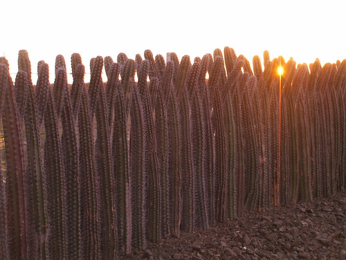 a cactus fence