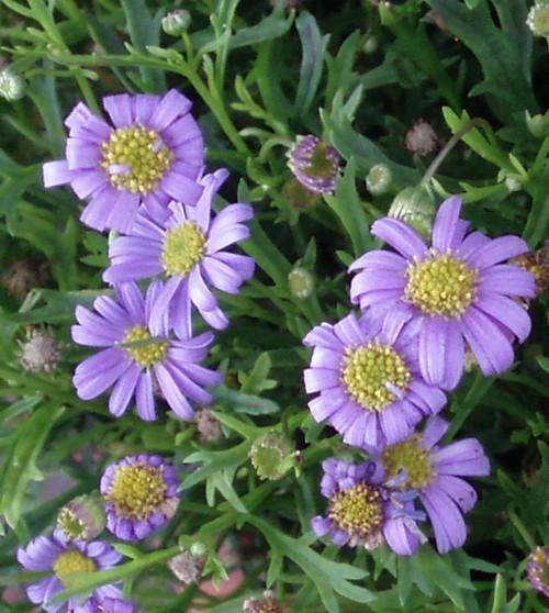 Brachyscome iberidifolia 4603920506_c98731aaa6_o