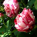 it's June - Rose Mundi, Rosa gallica versicolor