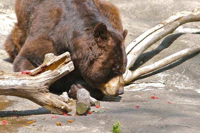 Black bear eating berries 1 flickr photo sharing