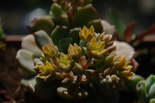 Graptosedum 'Golden Glow'