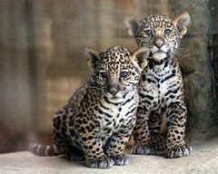 animal, big cats, leopard, jaguar, ocelot, carnivoran,