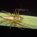 Oxyopes - Photo (c) IRRI Photos, algunos derechos reservados (CC BY-NC-SA)