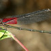 American Rubyspot - Photo (c) Patrick Coin, some rights reserved (CC BY-NC-SA)