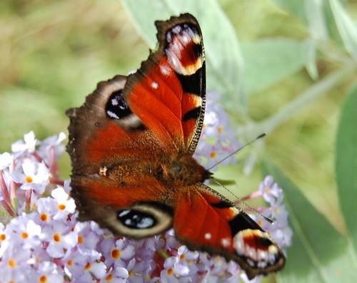 Tanto Delle Farfalle Sulle