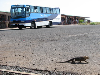 Land Iguana at Baltra Airport