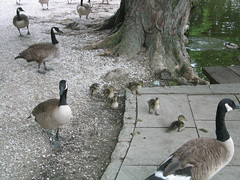geese and ducklings