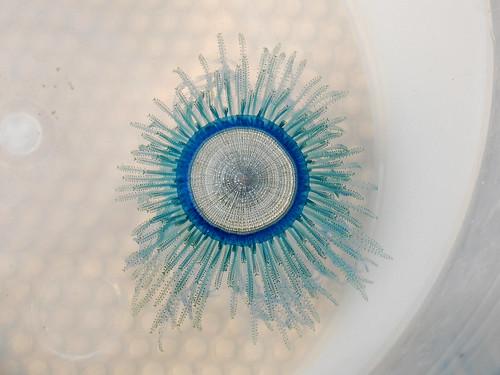 扁平毒水母 - 無料写真検索fotoq