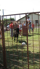Bulls playing football!