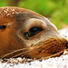 Resting Sea Lion by krugerlive