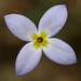 Houstonia - Photo (c) Patrick Coin, some rights reserved (CC BY-NC-SA)