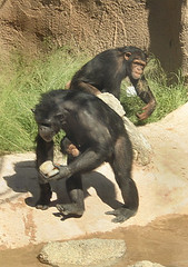 chimpanzee, animal, monkey, mammal, great ape, fauna, common chimpanzee, old world monkey, ape,