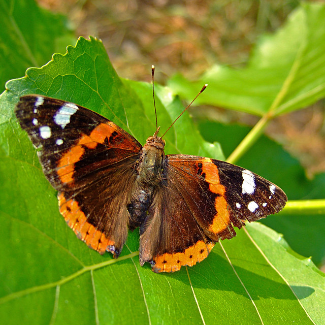 red admiral butterfly 2 | Flickr - Photo Sharing!