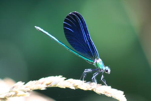 Damsel fly southern France