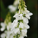 white sweet clover - Photo (c) Steve Chilton, some rights reserved (CC BY-NC-ND)