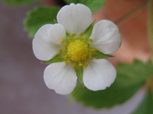strawberry flower macro