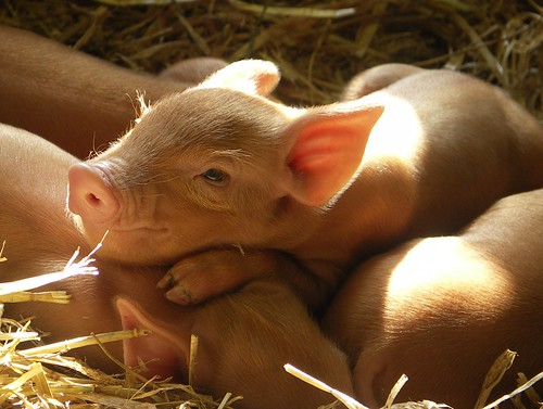 piglets in sunshine