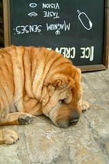 dog breed, animal, dog, pet, mammal, shar pei,
