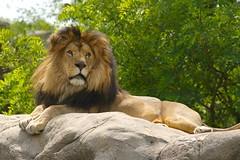 King Lion #2
