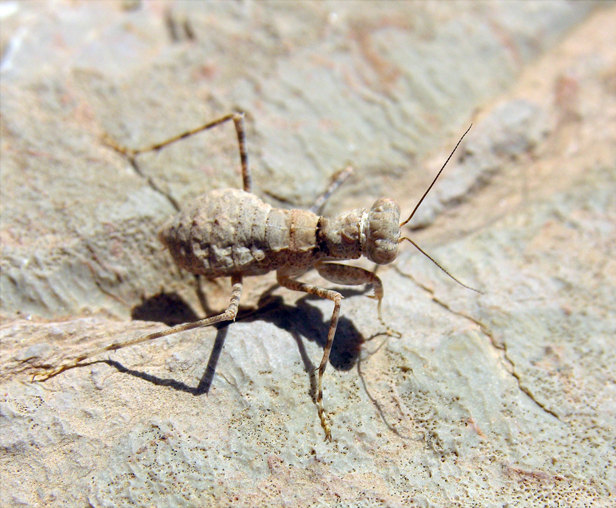 Pebble mantis (Eremiaphila sp cf murati) from the arid Atlas slopes of Morocco