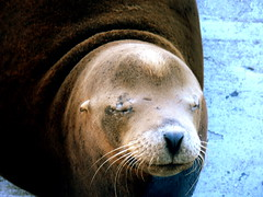nose, animal, seals, sea lion, marine mammal, snout, head, fauna, close-up, whiskers, wildlife,