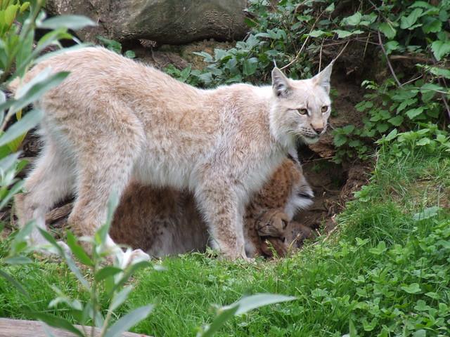 Lynx binary options