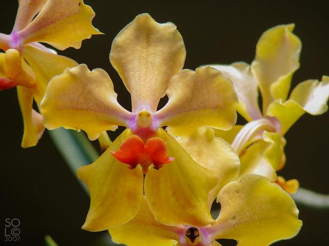 amor yellow