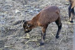 sheeps(0.0), sheep(0.0), horn(0.0), goats(0.0), herd(0.0), chamois(0.0), animal(1.0), mammal(1.0), grazing(1.0), fauna(1.0), wildlife(1.0),