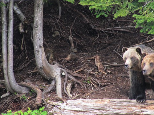 Grouse Mountain.. two orphaned grizzly bears..
