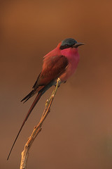 Southern Carmine Bee-eater perched on branch Merops nubicus nubicoides CS Zambia