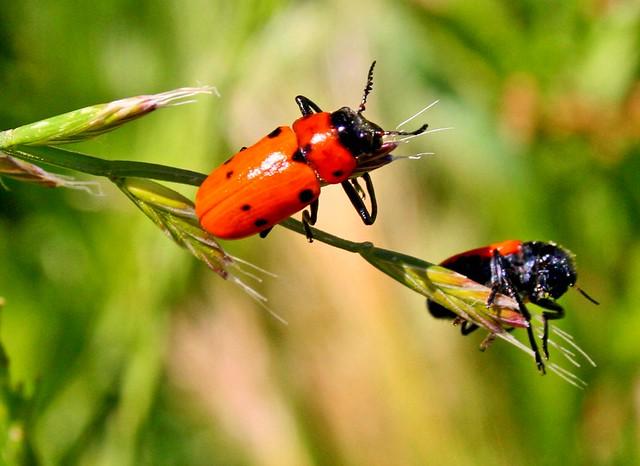 orange black bugs flickr photo sharing. Black Bedroom Furniture Sets. Home Design Ideas