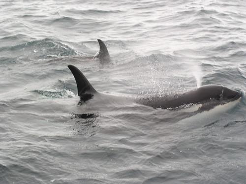 seward whale watching 072